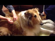 Acupuncture for dogs Oakland California In this video, Dr. Richter of Holistic Vet Care in Oakland California talks about acupuncture for dogs and demonstrates on one of his patients. Visit www.HolisticVetCare.com