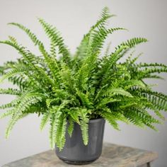 Beautiful, finely cut, bright green fronds pour out from atop a slender trunk, creating a lush and exotic accent with a palm tree-like affect. The fastest growing of the tree ferns and a stunning specimen Calathea Plant, Pothos Plant, Fern Plant, Plant Cuttings, Asparagus Fern, Australian Tree Fern, Sword Fern, Chlorophytum, Boston Ferns