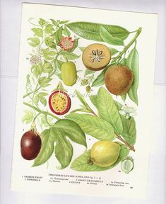 Botanical Fruits PASSION FRUIT Print edible by VintageInclination