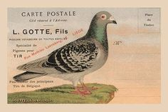 Extremely rare advertising for a business in Belgium which deals in passenger pigeons. These pigeons are now extinct but in WWI they were vital in communication and at the turn of the century they wer