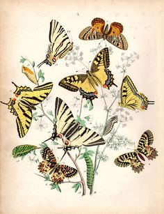 1882 Antique Butterfly Print Kirby Butterflies Natural History Entomology