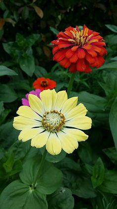 Zinnias, Flower Art, Journals, Beautiful Flowers, Garden, Flowers, Plants, Art Floral, Journal Art