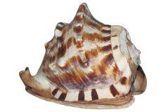 Caribbean  Shell