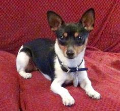 Brandy is an adoptable Rat Terrier Dog in Atlanta, GA. Brandy is an 18-month old, almost-8-lb. Teddy Rat Terrier whose personality is as adorable as her appearance. She is friendly, affectionate, gent...