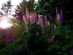 Pretty Wild Flowers, This Bunch Freshly Washed From A Rain, Here Comes The Sun Type in Maine. Lupines.