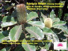 CTS-CENTRO DE TERAPIAS PARA LA SALUD: Banksia Robur