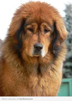 what a flufffff!!!! tibetian mastiff