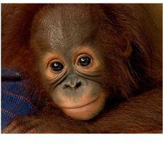 Five of the best Charity Christmas gifts to spread the festive love Animals And Pets, Baby Animals, Cute Animals, Charity Christmas Gifts, Baby Chimpanzee, Cute Monkey, Palm Oil, Primates, My Little Girl