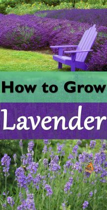 The robust smell and diverse shades of purple, blue, soft pink and white flowers, learn everything you need to know for growing lavender!