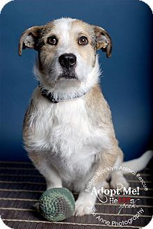 McKinney, TX - Wirehaired Fox Terrier/Poodle (Miniature) Mix. Meet ...