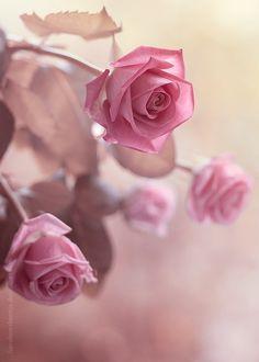 flowersgardenlove: Pretty pink roses Flowers Garden Love