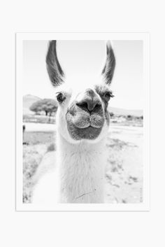 Art Print Photography - Llama black and white animal photography Art Print Photography - Llama Animals Black And White, Black And White Wall Art, Wild Animals Photography, Art Photography, Llamas, Llama Print, Llama Llama, Llama Pictures, Llama Arts