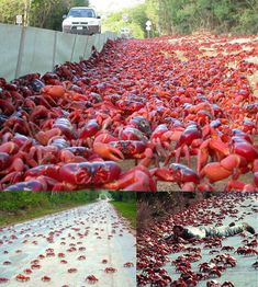 WE SAW LAND CRAB MIGRATION EACH YEAR WHEN WE LIVED IN QUINTANA TOO