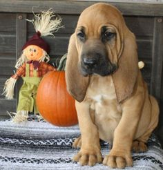 Cute Bloodhound Puppies