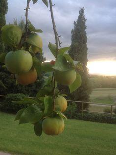 Agriturismo Malagronda, kaki-hedelmät kypsyvät syksyllä