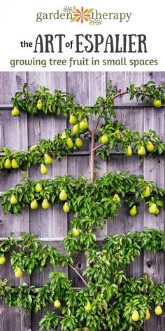 Art of Espalier: Growing Fruit Trees in Small Spaces - Garden Therapy® Espalier fruit trees - how to grow lots of fruit in a small spaceEspalier fruit trees - how to grow lots of fruit in a small space Small Space Gardening, Small Gardens, Gardening Tips, Organic Gardening, Vegetable Gardening, Veggie Gardens, Vertical Gardens, Urban Gardening, Container Gardening