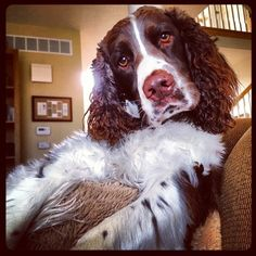 English Springer Spaniel, my boy Pardini