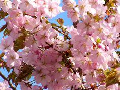 kirsikkapuu puutarhassa - Google-haku