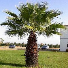 California Fan Palm Seeds