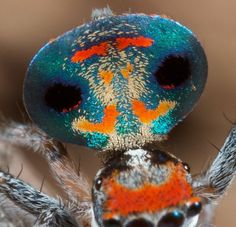 Proud as a Peacock Spider