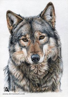 Yakima by Azany. Animal - Wolf - colored pencil