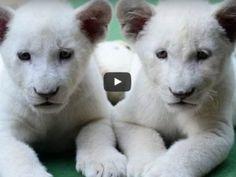 Videos Leones Blancos Archives - Fotos de Tigres