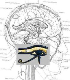 Eye of Horus and the pineal gland / limbic system - our connection to the universal mind.  ~EI