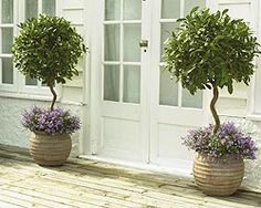 Bay tree pots with purple flowers (front garden)