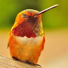 A Happy Hummingbird ~ An example of orange and yellow in nature. Amazing little birds, so beautiful Колибри Pretty Birds, Love Birds, Beautiful Birds, Animals Beautiful, Cute Animals, Beautiful Images, Beautiful Things, Hummingbird Photos, Hummingbird Drawing