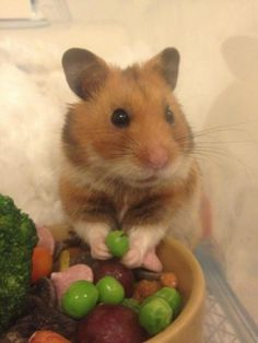 hamster with peas for a snack Hamsters As Pets, Cute Hamsters, Rodents, Cute Baby Animals, Animals And Pets, Hamster Pics, Hamster Stuff, Can Cats Eat Ham, Syrian Hamster