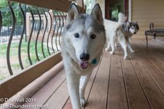 We are not mentioning the Hu-Aunt's birthday this year. #dog #siberianhusky #husky