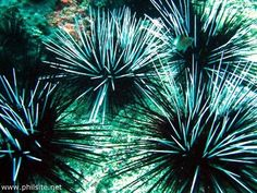 underwater-picture23-sea-urchins.jpg 500×375 pixels