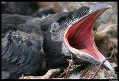 Baby Raven by gudmundur.ragnarsson, via Flickr