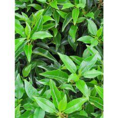 Portugese laurier haag - Prunus lusitanica Angustifolia-groenblijvende haagplant-Tuinplant.nl