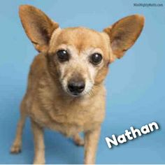 Meet Nathan, an adoptable Chihuahua looking for a forever home. If you're looking for a new pet to adopt or want information on how to get involved with adoptable pets, Petfinder.com is a great resource.