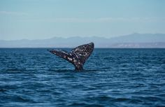 A Gray Whale Breaks The Record For Longest Mammal Migration | #Science #Russia #Mexico via @NatGeo