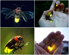 45 best Firefly beetles images on Pinterest   Butterflies  Fireflies     Fireflies   Natural Light Bulbs Lampyridae is a family of insects in the  beetle order Coleoptera  They are winged beetles  and commonly called  fireflies or