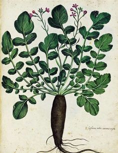 black radish, Ulisse Aldrovandi