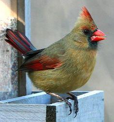 Northern Cardinal: West Virginia State Bird