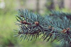 #choinka #drzewo #fotografia