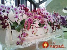 Odkvitla vám orchidea? TOTO musíte urobiť, aby opäť zakvitla!