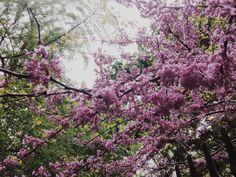 Gramercy in full bloom.