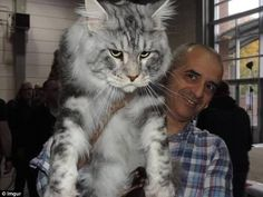 American Maine Coons can grow up to 48in long and weigh as much as 35lbs...