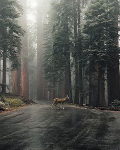 Visit for more incredible travel & nature photos! A quiet and peaceful scene as mist coats the forest and a young doe walking right through Sequoia National Park. Photo by: Explore. Sequoia National Park, National Parks, National Forest, Theme Nature, All Nature, Amazing Nature, Beautiful World, Beautiful Places, Nature Photos