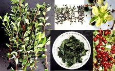 Henna Meyhndi Lawsonia Inermis Seed