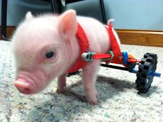 "Pig ""Crispy Bacon"" with his wheelchair made from toys.  Made an appearance on The Today Show Feb. 2012."