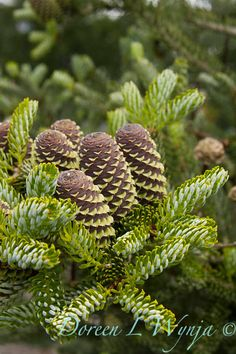 Abies koreana; Fir cones; these are the ones I want on me!