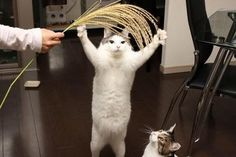 ススキとじゃれる猫がなんだかめでたい感じにwwww