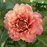 Peony 'Berry Garcia' -  Zone 3  Itoh Peonies are rare and unusual hybrids between Garden Peonies and Tree Peonies. There ...