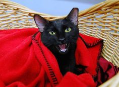 Meet+Latifah,+a+Petfinder+adoptable+Domestic+Short+Hair-black+Cat+|+Saint+Louis,+MO+|+Seeking+an+appreciative+audience!Latifah+loves+to+sing.+She's+been+waiting+for+a+home+for+a+while...